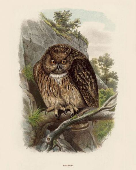 Fine Art Print of the Eagle Owl by O V Riesenthal (1876)